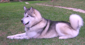 Alaskan Malamute Club de France - Thunder